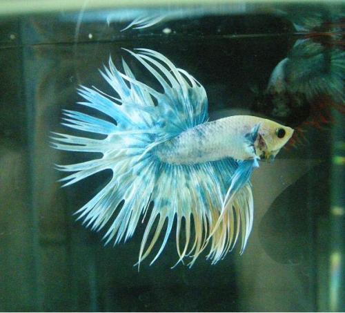 Name:  1285752108_124884330_1-Betta-Fish-manila.jpg Views: 543 Size:  38.2 KB