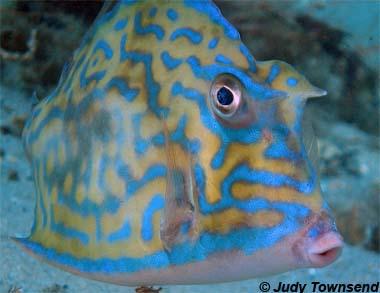 Name:  scrawledcowfish.JPG Views: 679 Size:  40.7 KB