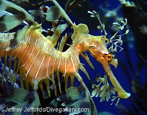 Name:  Seadragon4-JJ.jpg Views: 563 Size:  30.6 KB