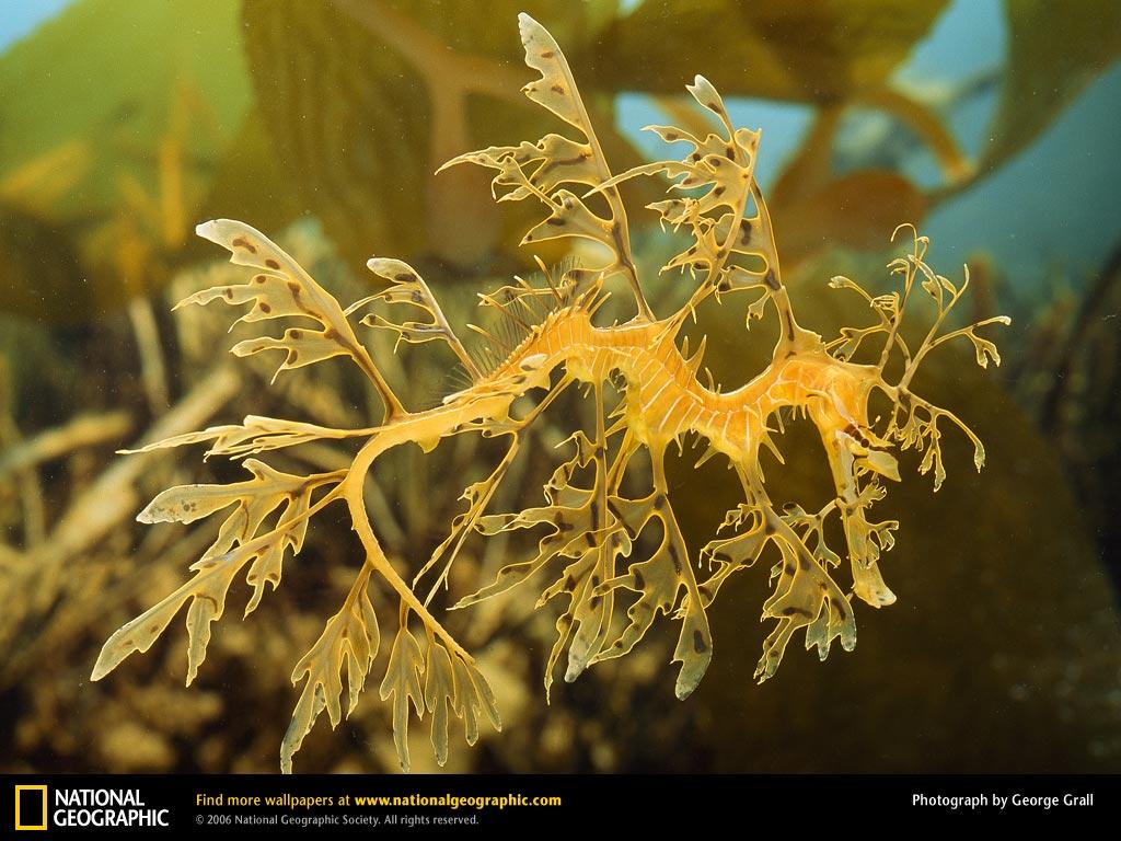 Name:  leafy-sea-dragon.jpg Views: 629 Size:  133.7 KB