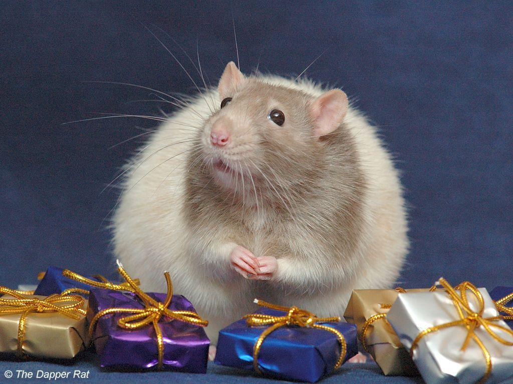 Name:  Cute-rat-small-animals-19096270-1024-768.jpg Views: 800 Size:  131.3 KB