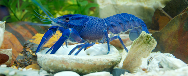 Name:  blue yabby.jpg