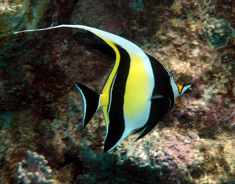 Name:  Moorish-Idol2.jpg