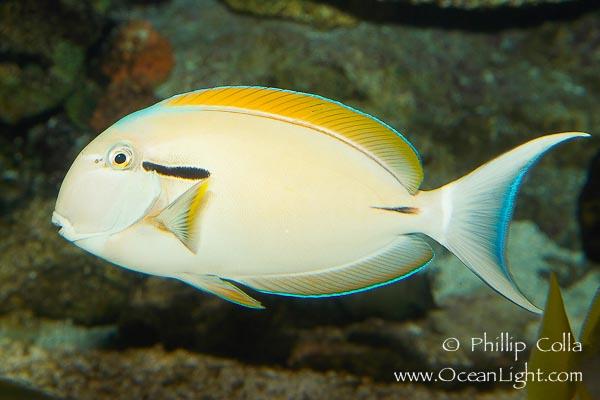 Name:  blackstripe-surgeonfish-photograph-12963-209043.jpg Views: 308 Size:  72.2 KB
