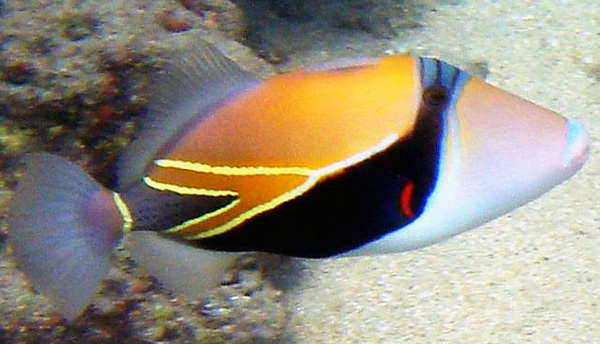 Name:  Reef_Triggerfish_oyd.JPG