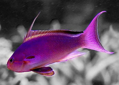 Name:  Anthias-maleSM.jpg