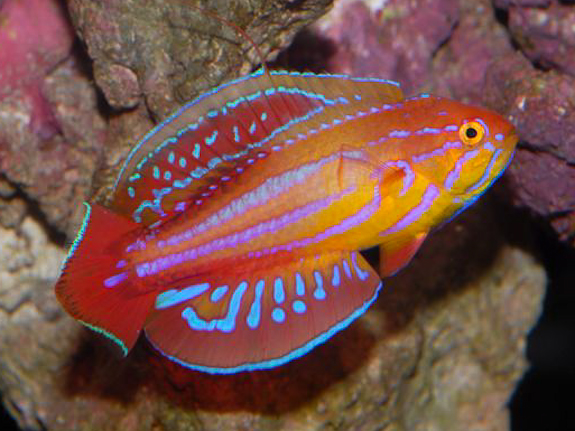 Name:  136235-Red Sea Eight Line Flasher Wrasse-Paracheilinus octotaenia.jpg