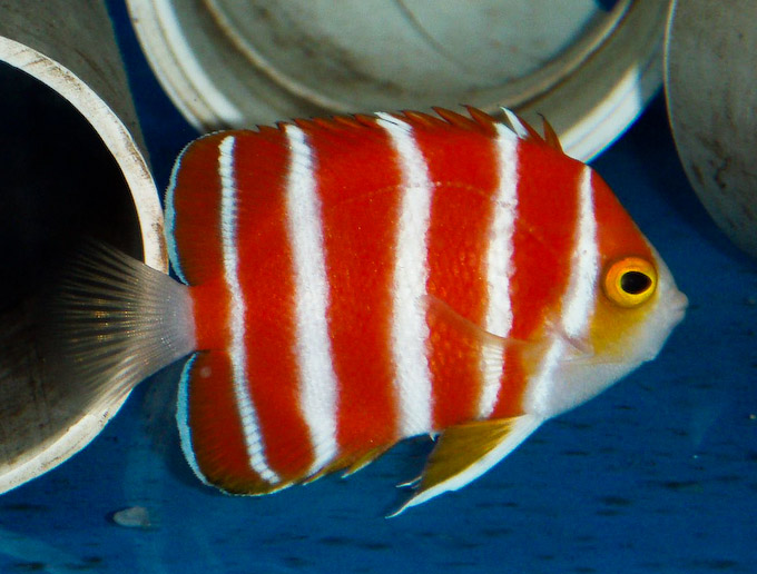 Name:  peppermint-angelfish.jpg Views: 660 Size:  124.1 KB