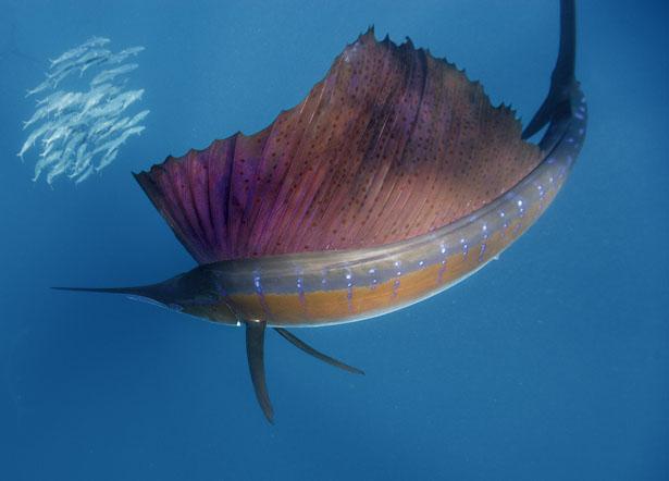 Name:  sailfish-circles-sardines-615.jpg Views: 518 Size:  70.0 KB