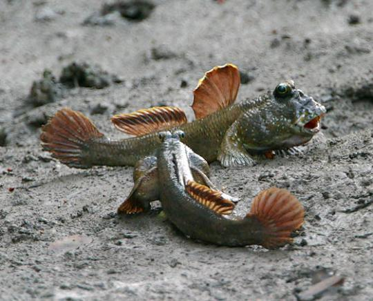 Name:  30731154mudskippers_1.jpg