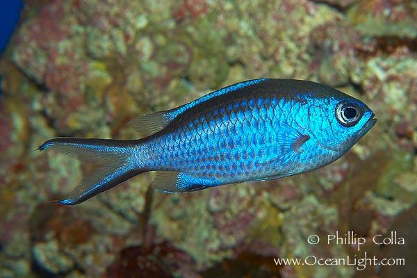 Name:  chromis-cyanea-blue-chromis-picture-09453-986244.jpg Views: 299 Size:  93.5 KB