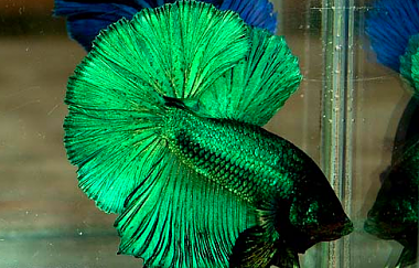 Name:  Green-Betta-Fish1.png