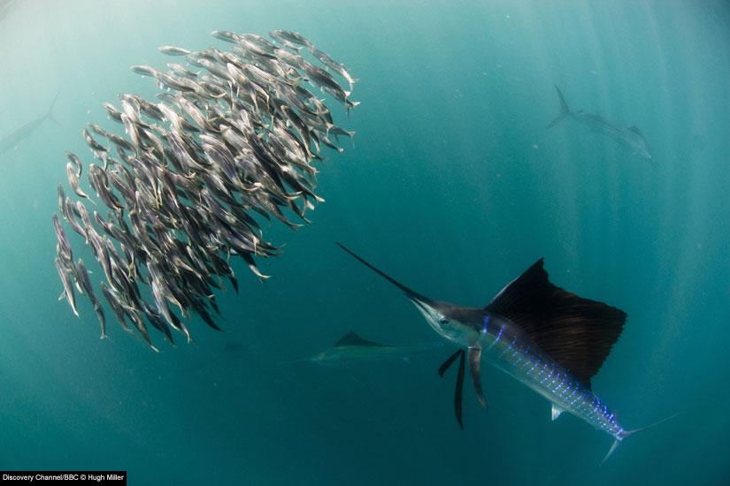 Name:  sailfish-825x550.jpg Views: 527 Size:  68.0 KB