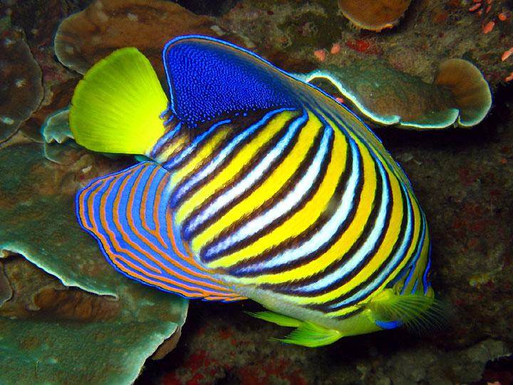 Name:  Royal_angelfish.jpg Views: 1182 Size:  132.4 KB