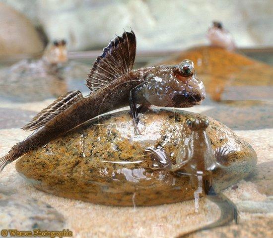 Name:  Periophthalmus barbarus.jpg Views: 1126 Size:  65.8 KB
