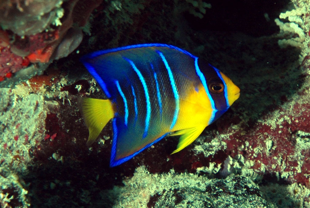 Name:  Queen-Angelfish.jpg