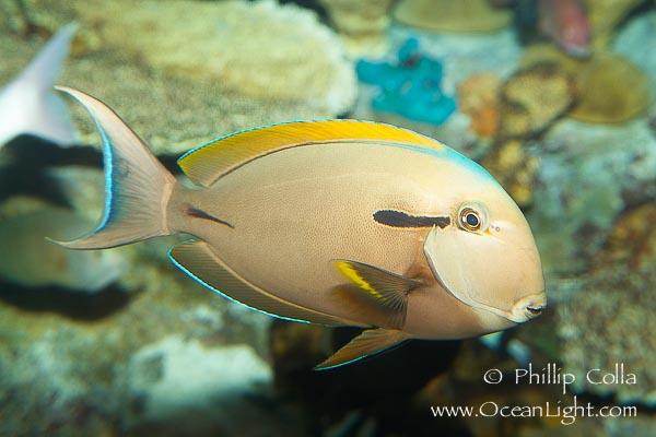 Name:  blackstripe-surgeonfish-photo-12964-955231.jpg Views: 298 Size:  76.3 KB