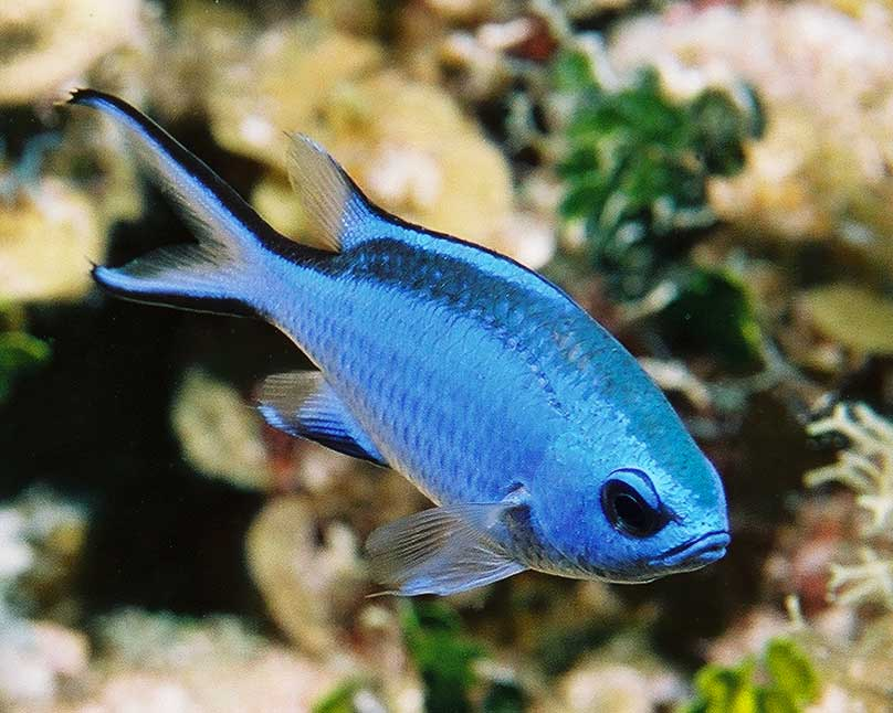 Name:  110035-Blue Chromis-Chromis cyanea.jpg Views: 301 Size:  62.7 KB