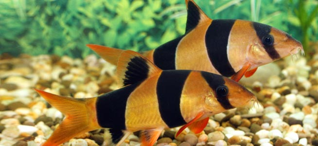 Name:  clown-loach.jpg