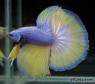 Name:  yellow-indigo-betta-fish.jpg Views: 421 Size:  30.9 KB