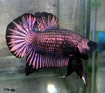 Name:  DSCN3815 black copper purple hm pk.jpg Views: 671 Size:  33.1 KB
