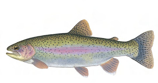 Name:  Steelhead_Trout_-_IN.jpg