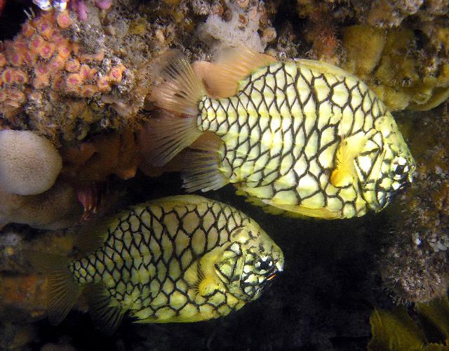 Name:  pineapplefish1.jpg Views: 466 Size:  89.2 KB