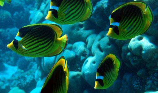 Name:  diagonal butterflyfish.jpg Views: 537 Size:  61.7 KB
