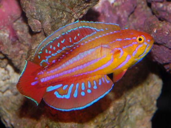 Name:  136235-Red Sea Eight Line Flasher Wrasse-Paracheilinus octotaenia.jpg Views: 392 Size:  288.7 KB