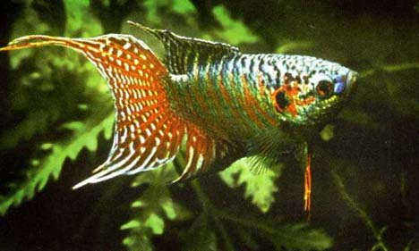 Name:  macropodus-opercularis-paradise-fish-gourami-cennet-baligi-gurami-5.jpg Views: 861 Size:  31.0 KB