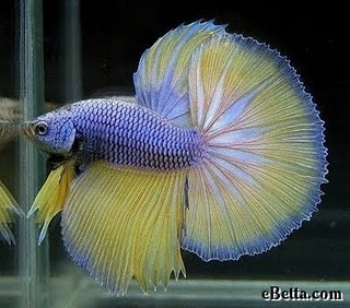 Name:  yellow-indigo-betta-fish.jpg