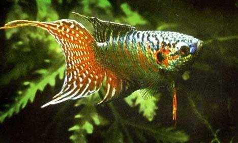 Name:  macropodus-opercularis-paradise-fish-gourami-cennet-baligi-gurami-5.jpg Views: 850 Size:  31.0 KB