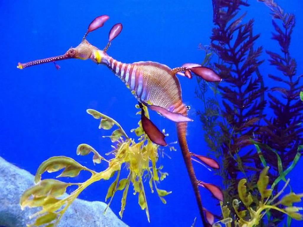 Name:  seahorses-seadragons-05.jpg Views: 4646 Size:  88.5 KB