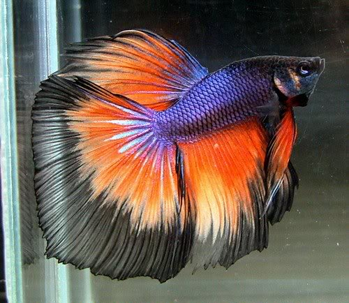 Name:  Betta-de-fuego.jpg