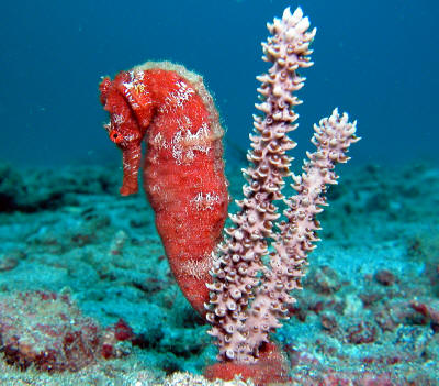 Name:  z-Seahorse red & two coral strands symmetrical 2.jpg