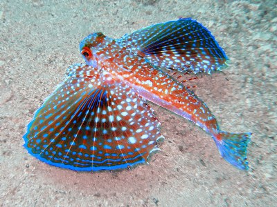 Name:  200910275125_Flying_Gurnard.jpg