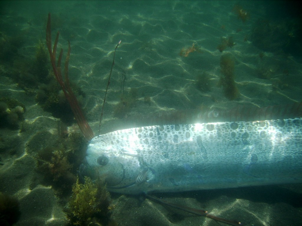 Name:  oarfish_0161xr.jpg