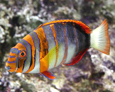 Name:  harlequinTuskfish2.jpg Views: 522 Size:  37.2 KB