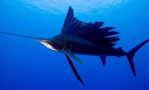 Name:  sailfish.jpg Views: 782 Size:  32.6 KB